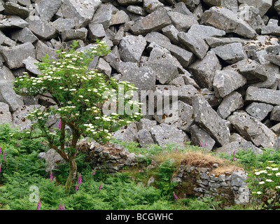 Tree, foxgloves and undergrowth growing amongst rocks in an old quarry - Stock Photo
