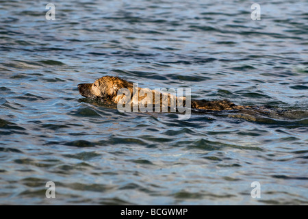 German Shepherd Dog (Alsatian) swimming in Sea at Balnakeil bay, Durness, Sutherland Scotland - Stock Photo