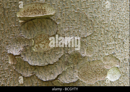 Spur-leaf (Tetracentron sinense) close-up of bark It is a tree growing to 20 40 m tall Distribution: Central and - Stock Photo