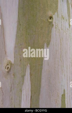Urn Gum Eucalyptus urnigera close up bark mature tree - Stock Photo