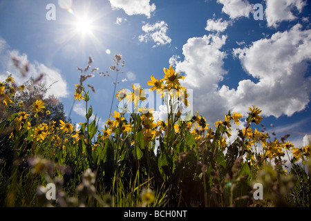 Wyethia arizonica or Mule s Ears Asteraceae Sunflower Family grow in a meadow along the Woods Walk Trail Crested - Stock Photo
