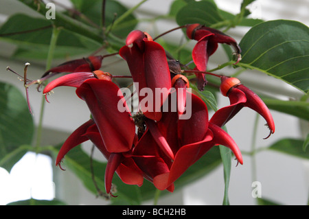 Cockspur Coral Tree, Erythrina crista-galli, Fabaceae, Argentina, Uruguay, Brazil and Paraguay - Stock Photo