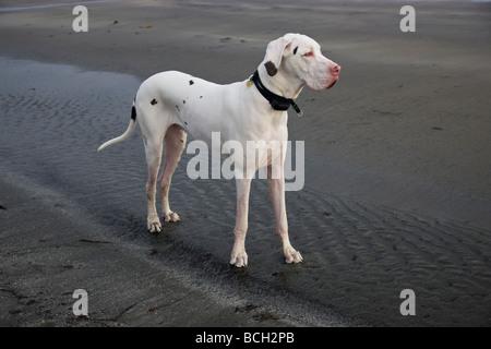 White Harlequin  'Great Dane'  male,on the beach.
