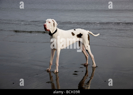 White Harlequin  Great Dane male two years old on the beach. - Stock Photo