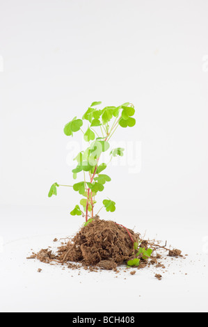 clump of fresh growing clover plant isolated on white - Stock Photo