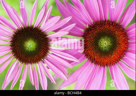 Echinacea purpurea 'Rubinglow'. Purple coneflower 'Rubinglow' - Stock Photo