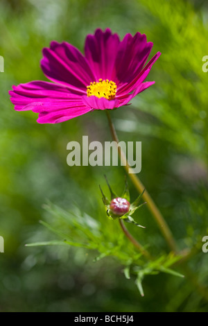 Vibrant pink Cosmos against bright green foliage - Stock Photo