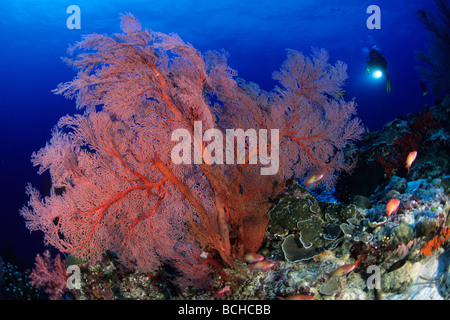 Red Gorgonian Fan and Scuba Diver Melithaea spec Similan Islands Andaman Sea Thailand Stock Photo
