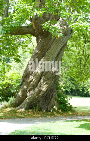 Castanea sativa 'Spanish Sweet Chestnut' fully grown twister tree spiral grooves bark - Stock Photo