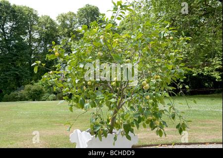 Citrus aurantium 'Seville Orange'. A controlled seville orange tree grown in a container. - Stock Photo