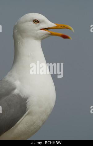 Yellow-legged Gull (Larus michahellis) - Stock Photo