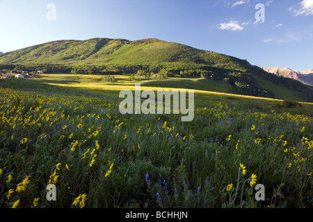 Wildflowers including Blue Flax, Lupine and Aspen Sunflowers grow along Washington Gulch near Mount Crested Butte - Stock Photo