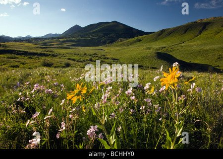 Wildflowers including Blue Flax and Mules Ear Sunflower family grow along Washington Gulch near Mount Crested Butte - Stock Photo