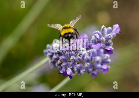A Bumble Bee collects pollen from a Lavender flower in a garden in Sussex UK - Stock Photo