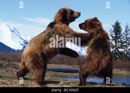CAPTIVE: Two Brown Bears play fighting at the Alaska Wildlife Conservation Center during Spring in Southcentral - Stock Photo