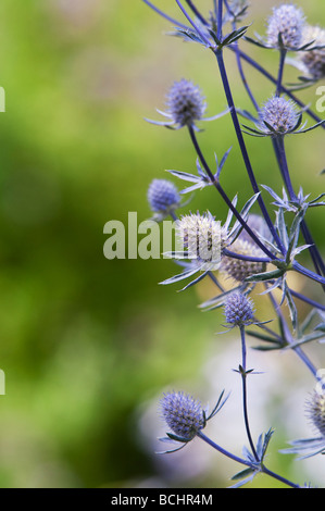 Eryngium planum 'Jade frost'. Sea holly flower - Stock Photo
