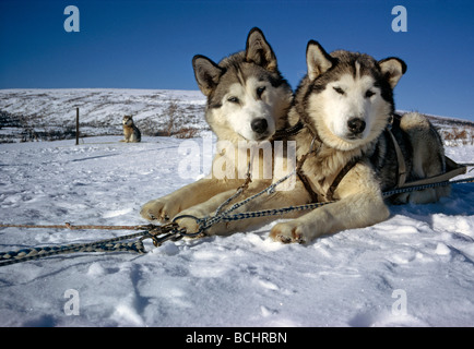 Sled Dogs Used in McKinley Climb to Haul Gear AK IN Spring Denali NP - Stock Photo