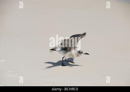 Sea bird taking off - Stock Photo