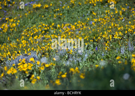 Mules Ear Aspen Sunflowers and Blue Flax below Snodgrass Mountain near Mount Crested Butte Colorado USA - Stock Photo