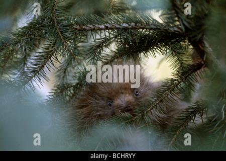 Porcupine in a small Sitka Spruce tree near Unuk River, Misty Fjords National Monument, Southeast, Alaska - Stock Photo