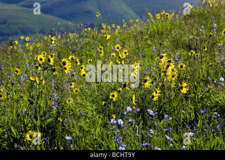 A pasture full of wildflowers including Blue Flax, Lupine and Aspen Sunflowers near Mount Crested Butte Colorado - Stock Photo