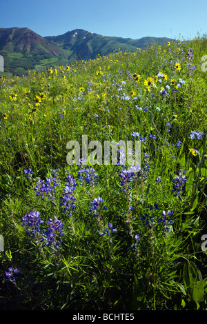 Wildflowers including Blue Flax Linum lewisii Linaceae Lupine and Aspen Sunflowers near Mount Crested Butte Colorado - Stock Photo