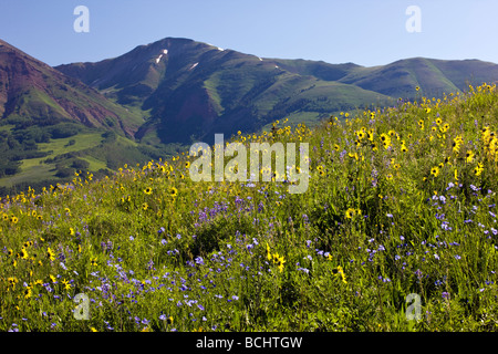 Split rail fence & wildflowers including Mule Ears Sunflower family Lupine and Blue Flax near Mount Crested Butte - Stock Photo