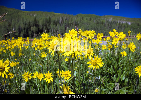 Mules Ear Aspen Sunflowers below Snodgrass Mountain near Washington Gulch Mount Crested Butte Colorado USA - Stock Photo