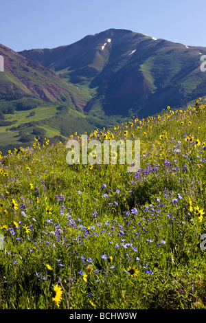 asture full of wildflowers including Mule Ears Sunflower family Lupine and Blue Flax near Mount Crested Butte Colorado - Stock Photo