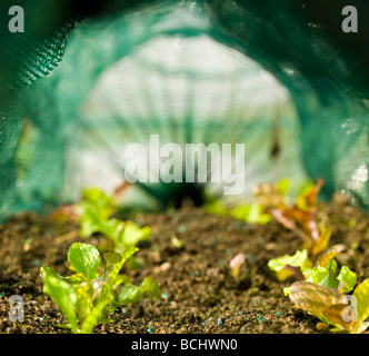 baby salad leaves growing in a net tunnel - Stock Photo