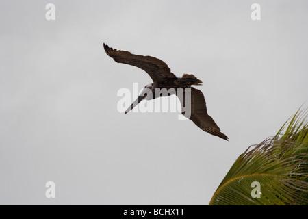 Brown Pelican (Pelecanus occidentalis) . Fort Myers Beach, Florida - Stock Photo