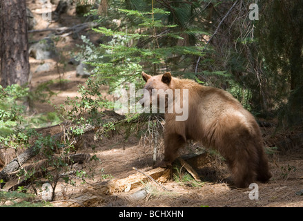 Black Bear (Ursus americanus) out looking for food - Yosemite National Park, California. - Stock Photo