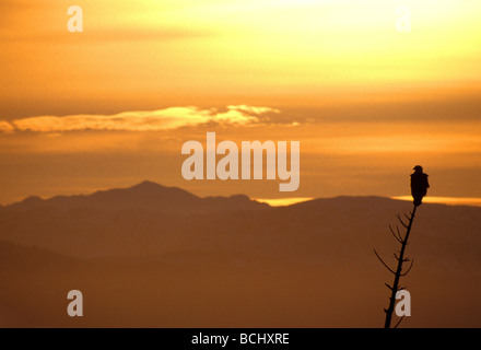 A silhouette of a Bald Eagle at sunset perched  on a spruce tree snag with the Kenai Mountains in the background, - Stock Photo
