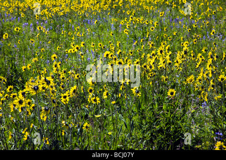 Mules Ear Aspen Sunflowers on Snodgrass Mountain near Mount Crested Butte Colorado USA - Stock Photo
