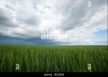 Green wheat field under dramatic cloudy sky - Stock Photo