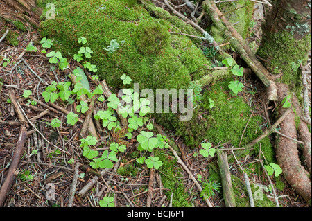 three leaf clovers by green moss on the forest floor in the mountains of North Carolina - Stock Photo