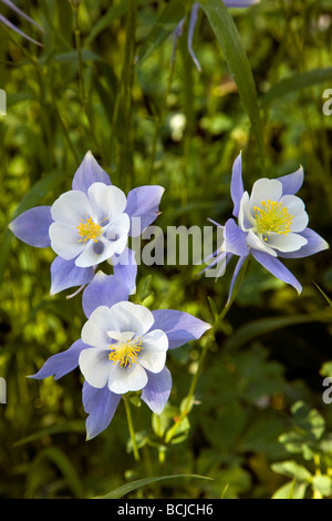 Rocky Mountain Columbine grow in a meadow along the Woods Walk Trail Crested Butte Colorado USA - Stock Photo