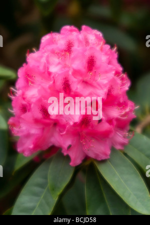 Close up of Rhododendron Cynthia, in soft focus - Stock Photo
