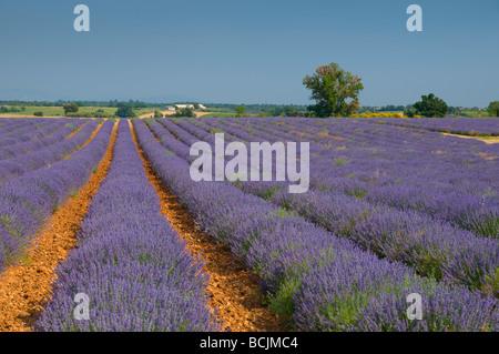 France, Provence-Alpes-Cote d'Azur, Alpes-de-Haute-Provence, Valensole, Lavendar Fields - Stock Photo