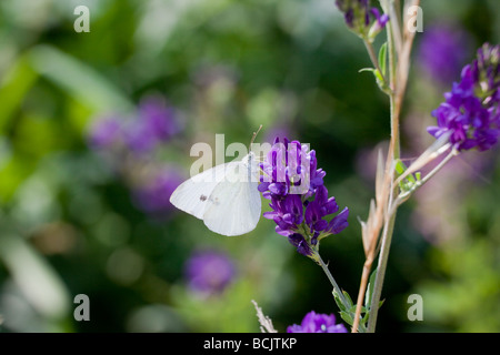 Common cabbage white butterfly, Pieris rapae Charles Lupica - Stock Photo
