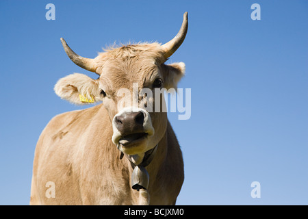 Horned cow looking at camera - Stock Photo