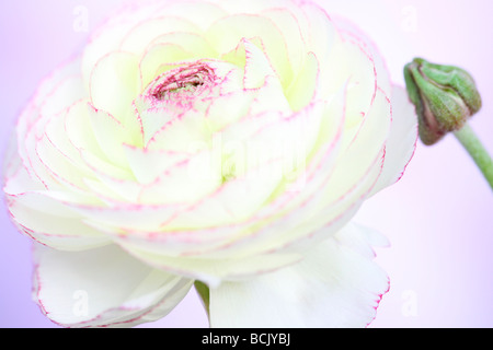 beautiful white ranunculus with dark pink tipped petals and bud fine art photography Jane Ann Butler Photography - Stock Photo