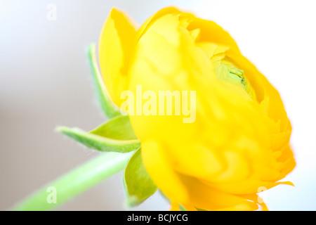 beautiful ranunculus sensitive and radiant fine art photography Jane Ann Butler Photography JABP388 - Stock Photo