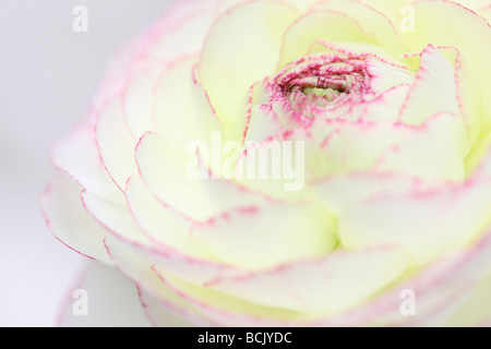 beautiful white ranunculus with dark pink tipped petals  Jane Ann Butler Photography  JABP394 - Stock Photo
