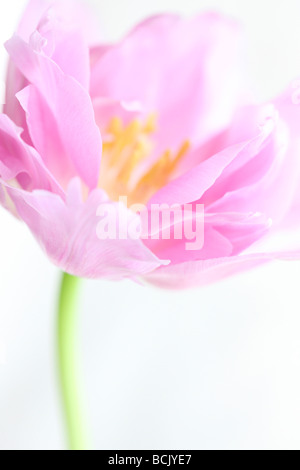 lilac perfection tulip portrait freeflowing and ethereal fine art photography Jane Ann Butler Photography JABP390 - Stock Photo