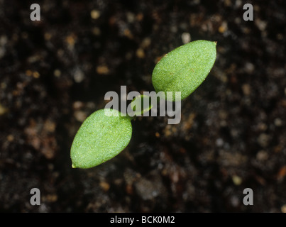 Chickweed Stellaria media seedling with cotyledon leaves only - Stock Photo