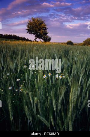 Barley Field Polish Organic Farm Camomile Chamomilla recutita Stock Photo