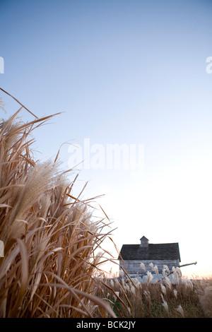 miscanthus giganteus grass grown for biofuel - Stock Photo