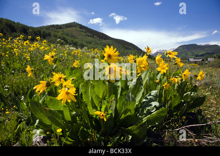 Mule s Ears Asteraceae Sunflower Family grow in a meadow along the Woods Walk Lower Loop Trails Crested Butte Colorado - Stock Photo