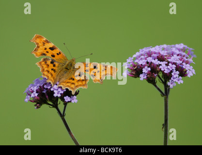 A comma butterfly (Polygonia c-album, Nymphalis c-album) with wings open showing orange markings feeds on Verbena - Stock Photo